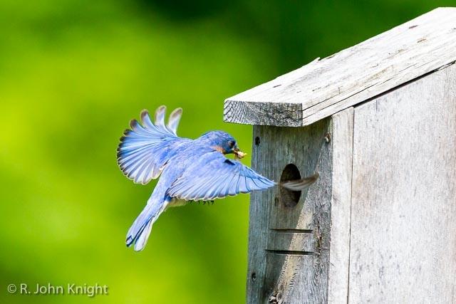 Blue bird to box